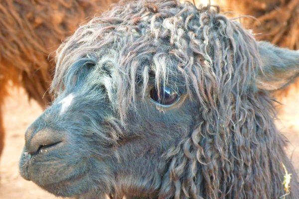 Alpaka Decke kaufen
